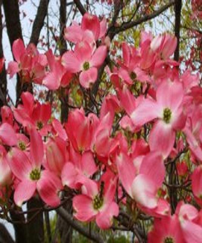 미산딸나무